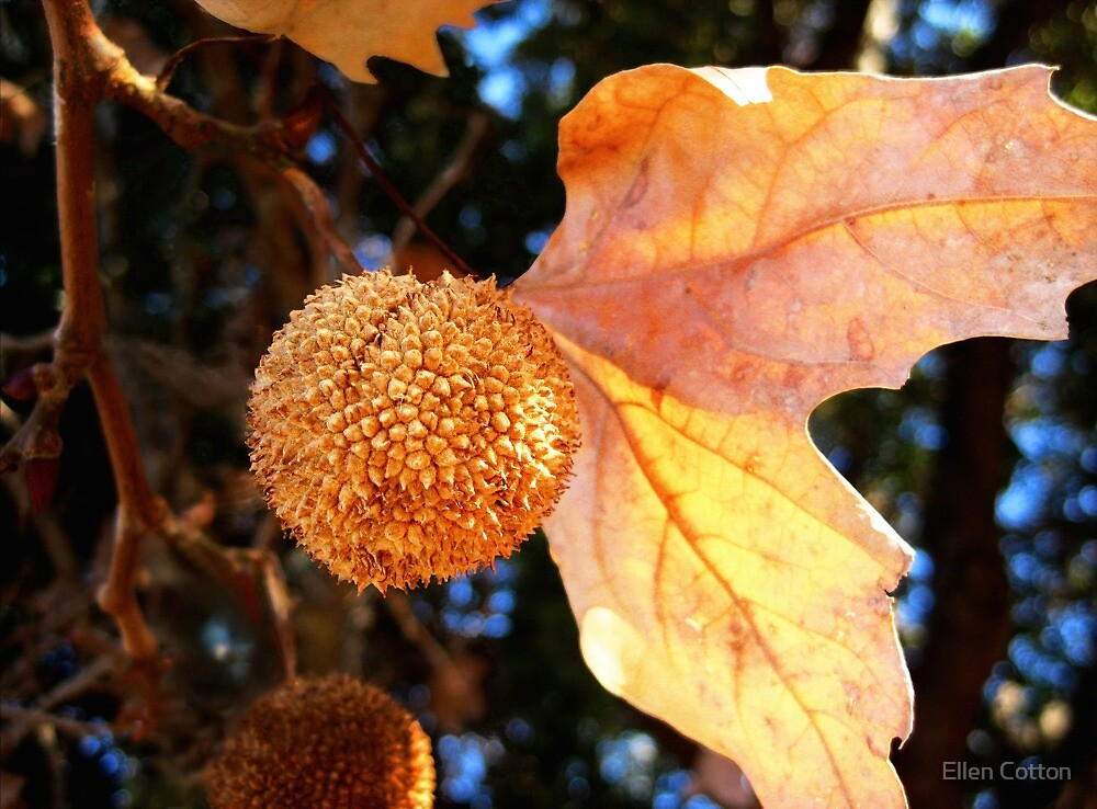 Autumn Sycamore by Ellen Cotton