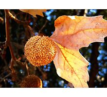 Autumn Sycamore Photographic Print