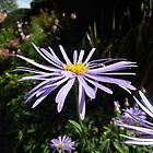 Michaelmas Daisies by FrancesArt