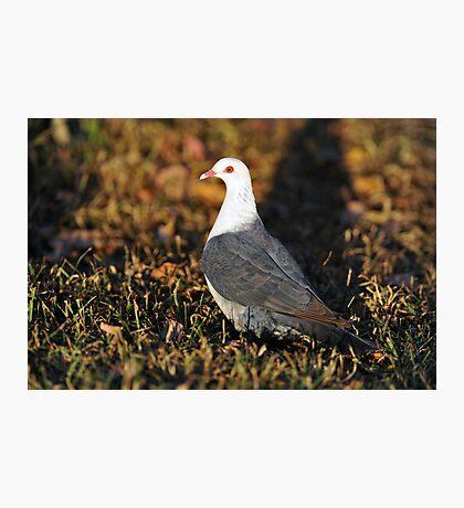 White Headed Pigeon. Cedar Creek, Queensland, Australia. (2) Photographic Print