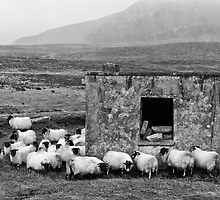 Sheltering Sheep by Kevin Hayden