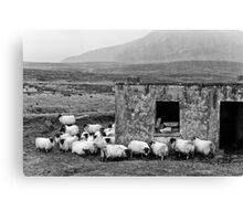 Sheltering Sheep Canvas Print