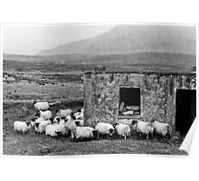 Sheltering Sheep Poster