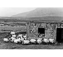 Sheltering Sheep Photographic Print