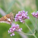 Silver-spotted Skipper and Verbena by Robert E. Alter / Reflections of Infinity, LLC