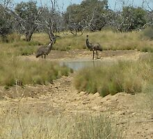 Emus off The Birdsville Track. by Kay Cunningham