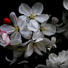 Apple Blossom 2 by mercale