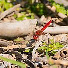 Trying to blend in, dragonfly, Lago Trasimeno, Umbria by Andrew Jones