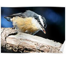 Nuthatch Eating a Termite Poster