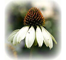 Echinacea Purpurea Alba Photographic Print