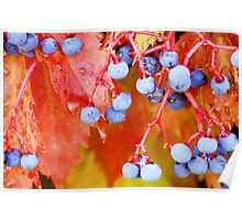 Vibrant Grape Vines Poster