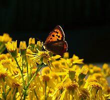 Butterfly on Ragwort by sarahjadair