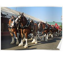 The Budweiser Clydesdale horses..... Poster