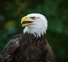 American Eagle by hsun337