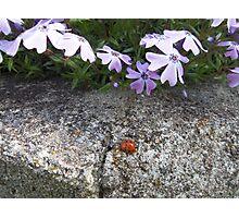 Phlox and Resident Ladybug Photographic Print