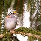 White Throated Sparrow by daphsam
