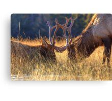 Elk 2 Elk Canvas Print
