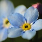 Forget-Me-Nots 12 by photonista