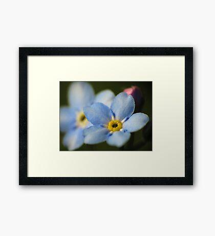 Forget-Me-Nots 12 Framed Print