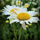 Daisy alive... by Judy Clark