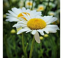 Daisy alive... Photographic Print