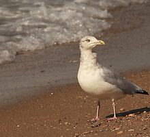 Herring Gull ~ by Renee Blake