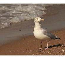 Herring Gull ~ Photographic Print
