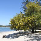 A Wattle Tree on the Beach by aussiebushstick