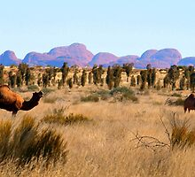 Camels at Uluru National Park N.T.  with  Kata Tjuta in the background  by Virginia McGowan
