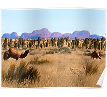 Camels at Uluru National Park N.T.  with  Kata Tjuta in the background  Poster