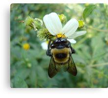 Bumblebee on Bidens alba (Spanish Needles) Canvas Print