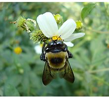 Bumblebee on Bidens alba (Spanish Needles) Photographic Print