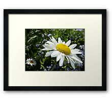 Close Up Common White Daisy With Garden  Framed Print