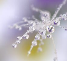 Daisy dew drops by Lyn Evans