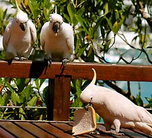 3 very cheeky birds!  Hamilton Is.  Queensland.  by Margaret Stanton