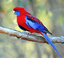 Crimson Rosella. Cedar Creek, Qld, Australia. (2) by Ralph de Zilva
