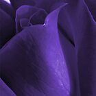purple rose by Enri-Art