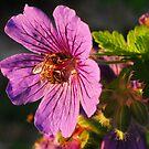 Bee in Geranium by rosie320d