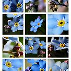 Forget-Me-Nots Montage 1 by photonista