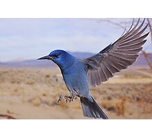 Pinion Jay in flight Photographic Print