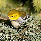Black throat green warbler by Dennis Cheeseman