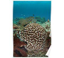 Brain coral Poster