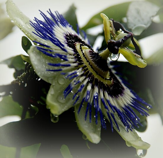 Passion flora after rain. by hanslittel