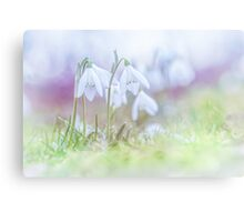 Snowdrops on the first days of spring Canvas Print