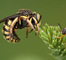 Anthidium sp. by César Torres