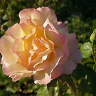 Rose in Light by orko