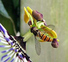 Hoverfly on a Passionflower by Hans Bax