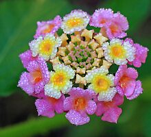 The Lovely Lantana by Lynn Gedeon