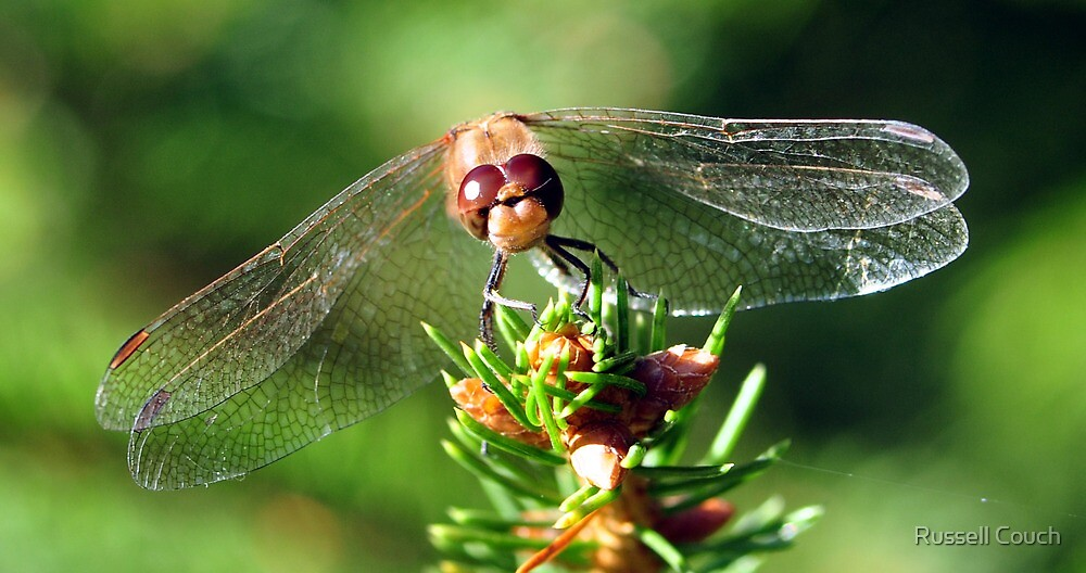 Sympetrum Striolatum by Russell Couch