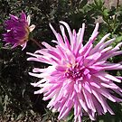 Lovely Colourful Dahlia.  by Brunoboy